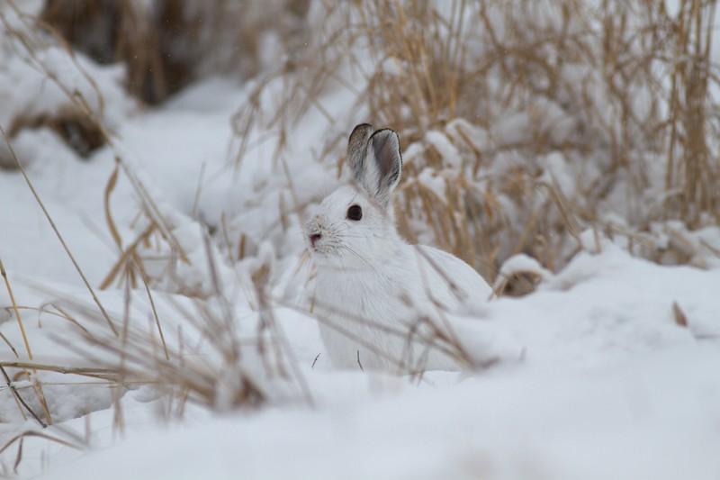 Snowshoe Hare Lepus americanus CR52-Arkola Sax-Zim Bog MN IMG_0002037.jpg