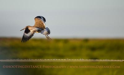 Willet Flies from Fencepost, Anahuac Refuge, TX
