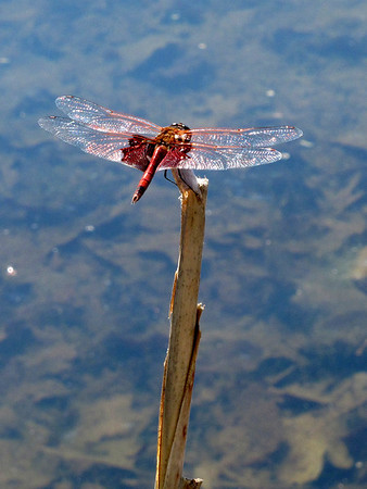 Carolina Saddlebags (Tramea carolina)