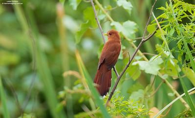 Cuckoos Cuculidae