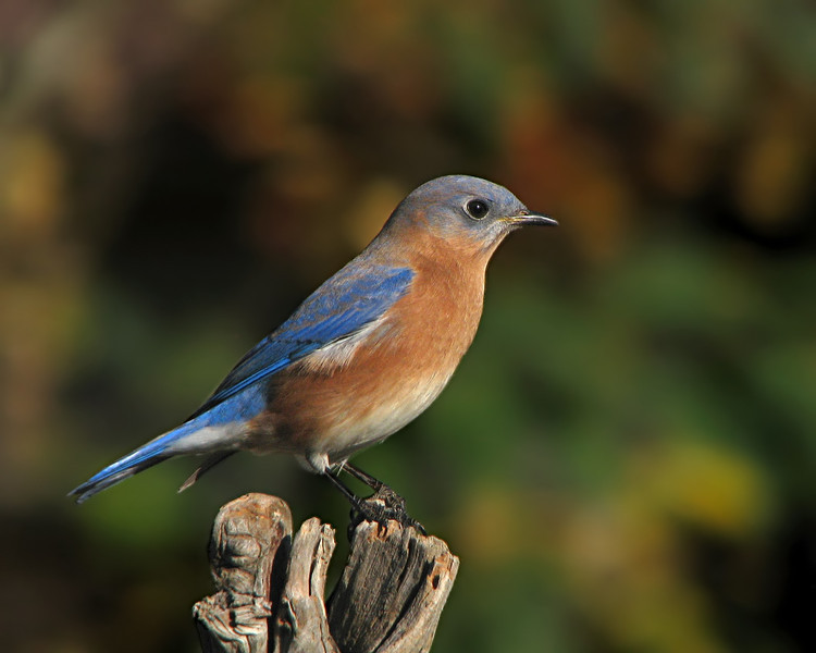 bluebird_7577.jpg
