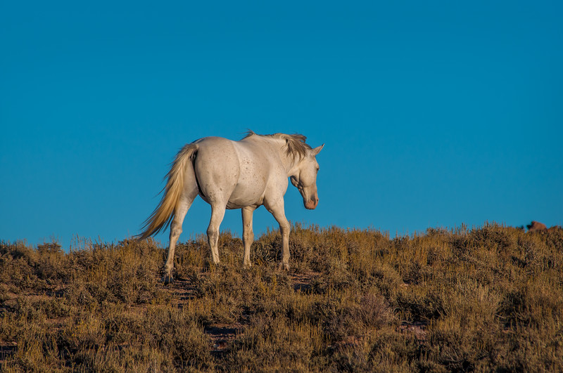 White Wild Horse Walking Near Rt 6 #2