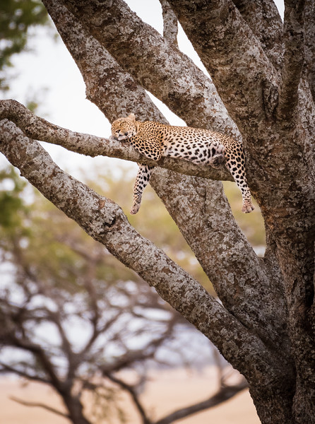 Yeah... that's a leapord - www.rajguptaphotography.com