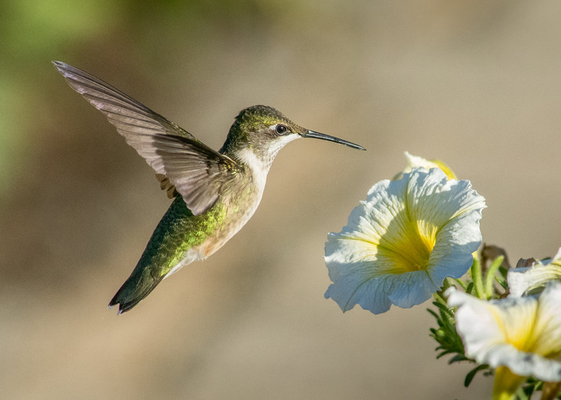 hummingbird white petunia floating (1 of 1).jpg