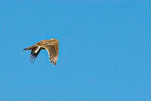 Skylark Ascending 2278--2.jpg