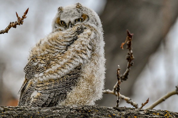 3-27-19 Great Horned Owlet - Out Of The Nest