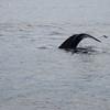 Whale, St. Anthony, Newfoundland - 2