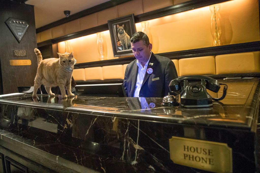 . In this Thursday, Aug. 2, 2018 photo, Hamlet VIII walks past Edwin Garcia as he works the front desk at the Algonquin Hotel in New York. The event is a fundraiser for the Mayor\'s Alliance for NYC\'s Animals, which helps support more than 150 animal shelters and rescues in New York. (AP Photo/Mary Altaffer)