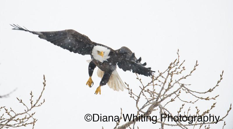 03_02_2019bald eagles_513 copy.jpg