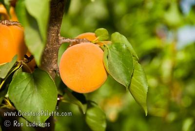 Moorpark Apricot - Prunus armeniaca sp.