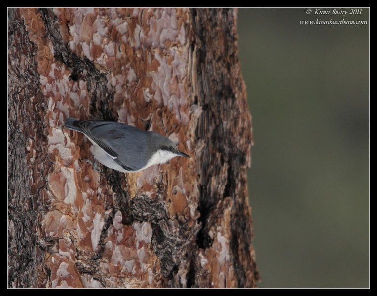 Pygmy Nuthatch, Mt. San Jacinto State Park, Palm Springs, California, March 2011