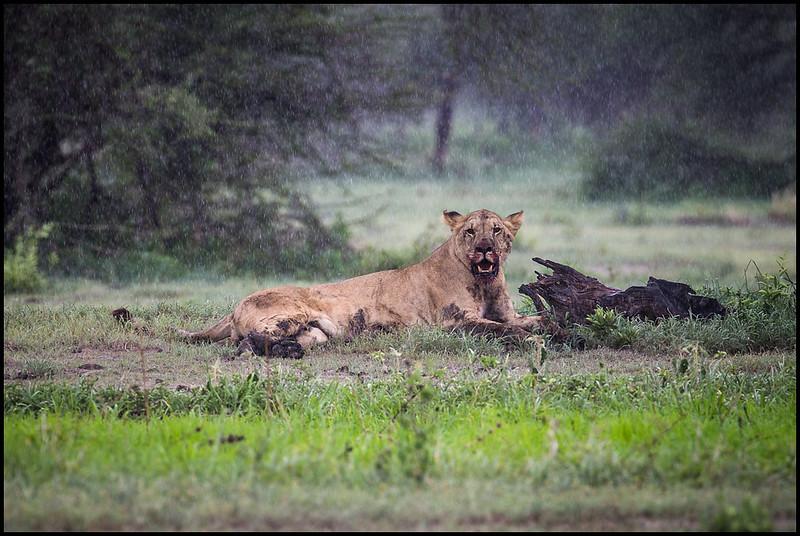 Lion after warthog kill, Tarangire NP