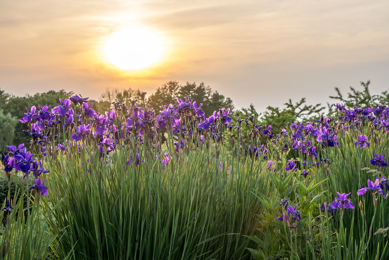 Irises under the sunset