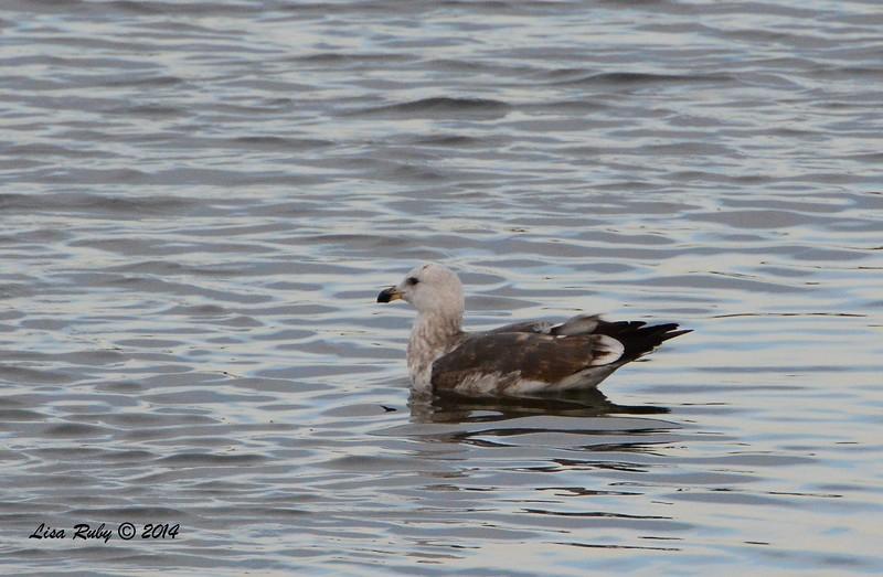 2nd winter Western Gull? - 12/19/2014 - Robb Field