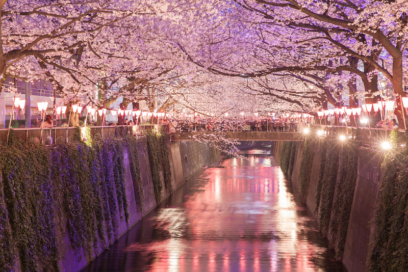 Meguro Canal during cherry blossom season