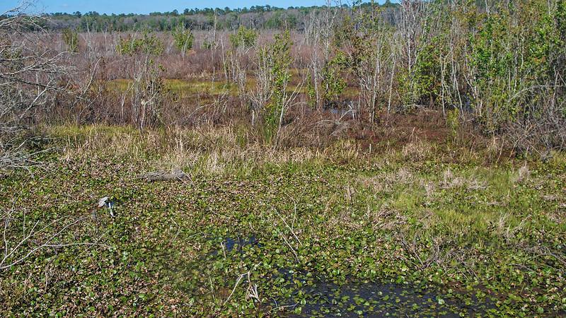 Lotus leaves in foreground of marsh