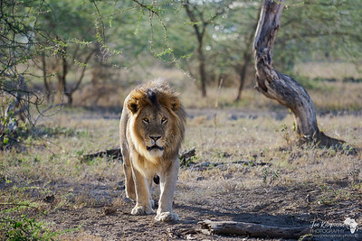 Oncoming Lion