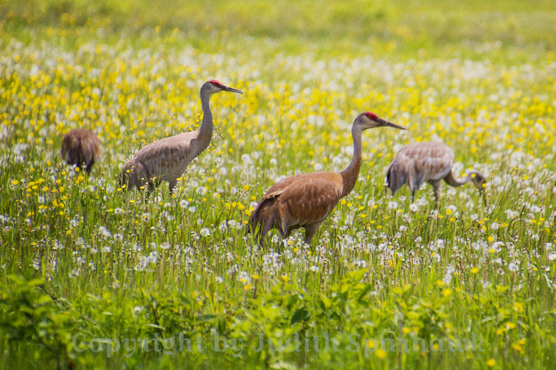 Sandhill Cranes in the Flowers