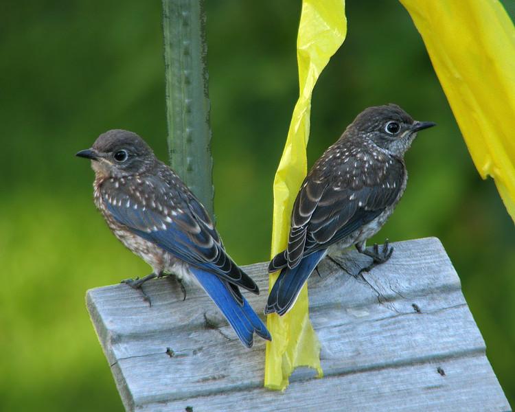 bluebird_fledgling_8112.jpg