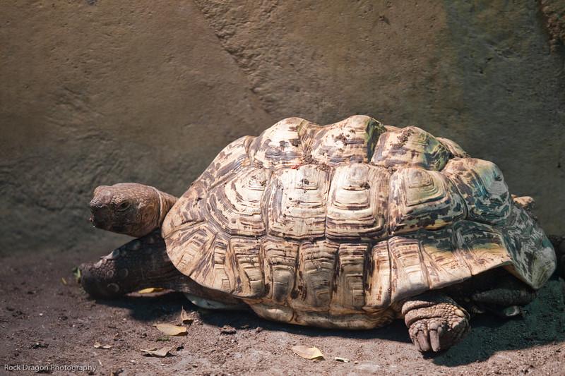 African Spurred Tortoise, Calgary Zoo Dec. 27