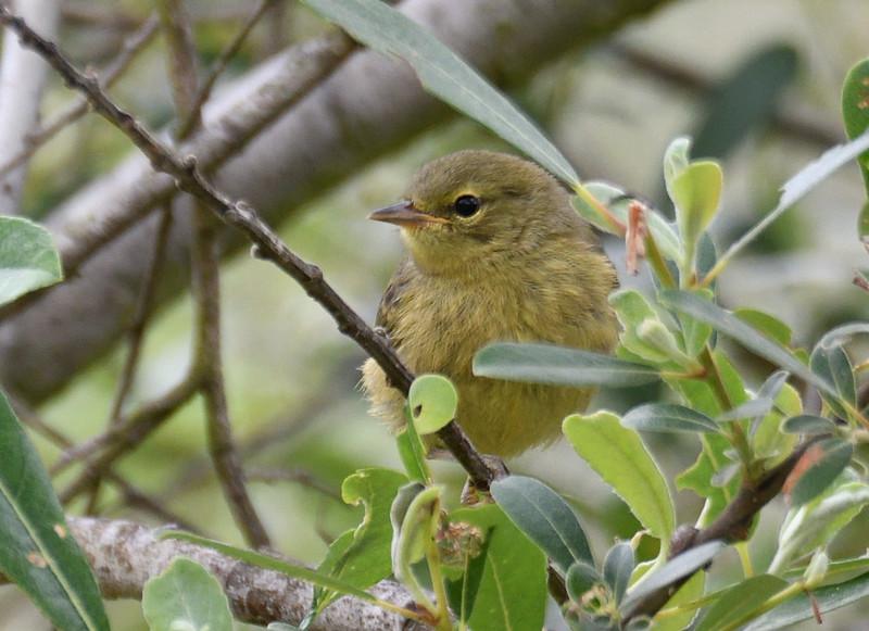 Juvenile Orange-crowned Warbler  - 4/28/2019 - Flintkote - Torrey Pines State Reserve