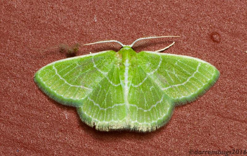 Emerald moth (Geometrinae: possibly Nemoria sp.) from Iowa, USA.