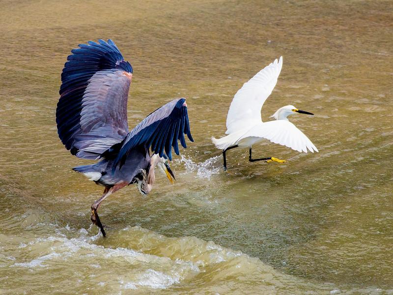 Great Blue Heron chasing a Snowy Egret, Brays Bayou