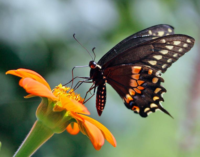 Spicebush Swallowtail 1
