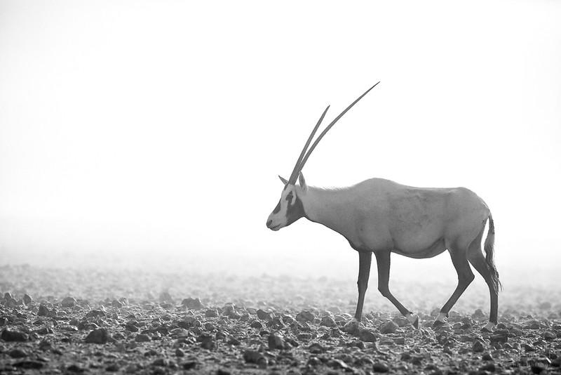 Arabian Oryx (13).jpg