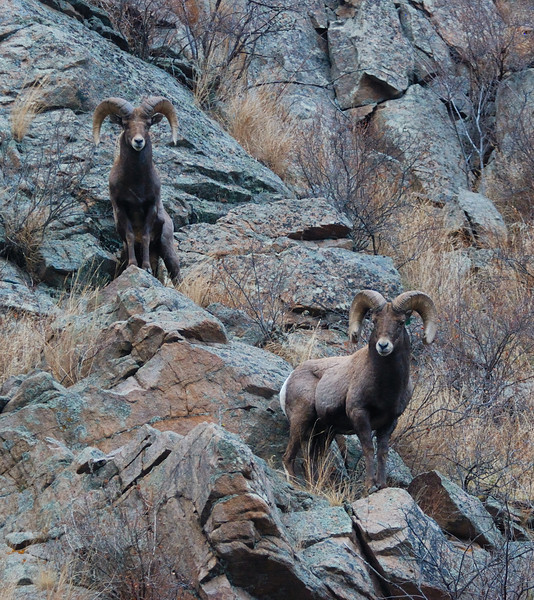 Bighorn Sheep 12062008 083.jpg