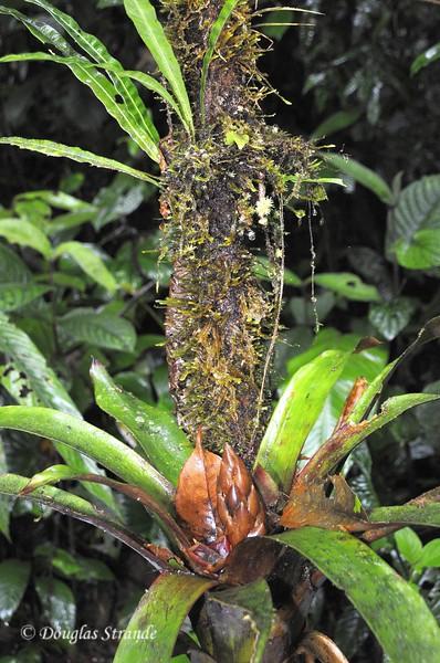 Sarapiqui: bromiliads and lichens