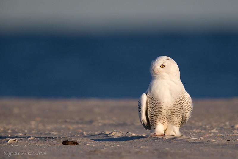 Snowy Owl w mouse_O8U2257-Edit.jpg