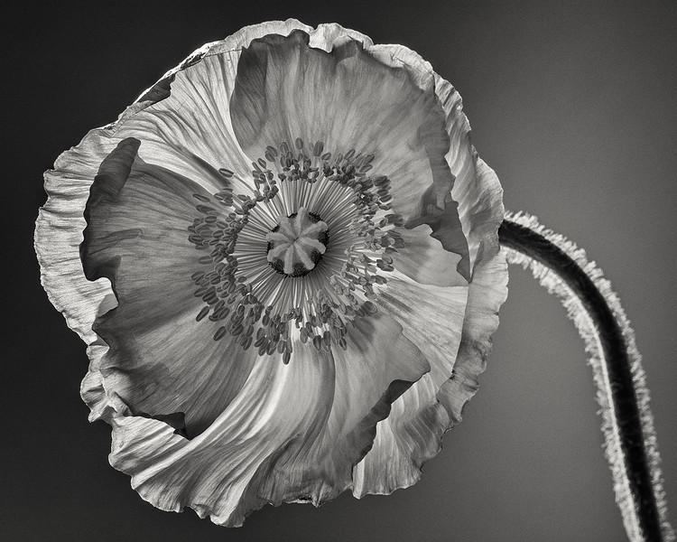 poppy-01.jpg