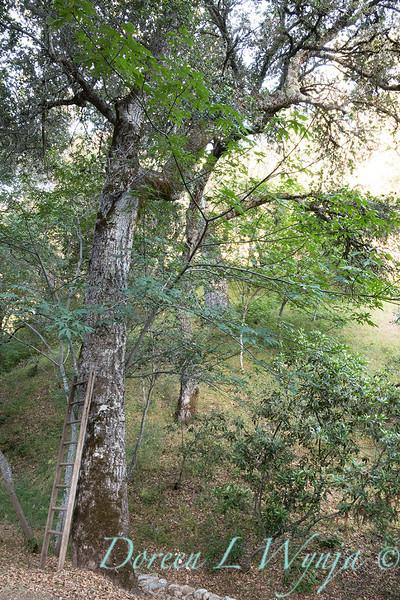 Quercus agrifolia trunk - wooden ladder_4613.jpg