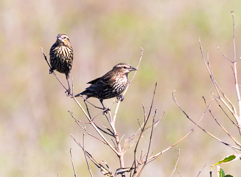 Two Song Sparrows