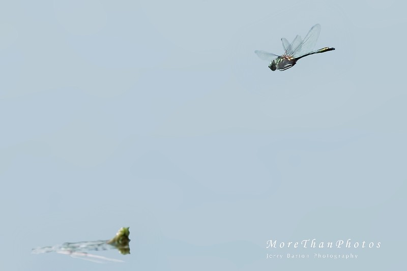 European green darner Caught it!  But with a high ISO, so cleaning it up made it look a bit strange
