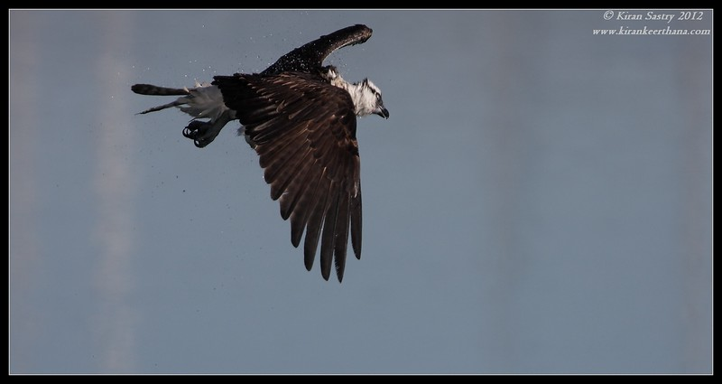 Osprey doing a mid-air shake after diving for fish, Robb Field, San Diego River, San Diego County, California, February 2012