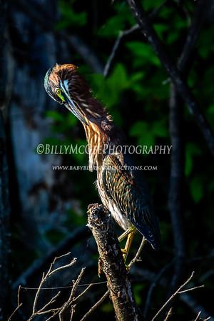 Green Heron's  - 10 Jul 2016