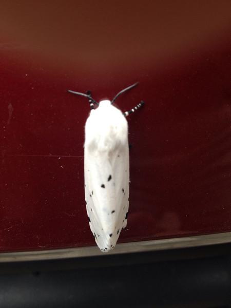 Herb Hood Moth