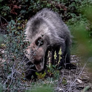8-12-20 Grizzly Bears & Cubs Album I