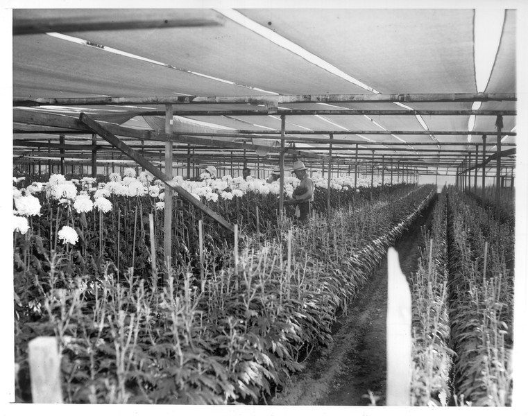 """""""Japanese picking chrysanthemums on the farm owned by Genichi Hirata in Montebello.""""--caption on photograph"""