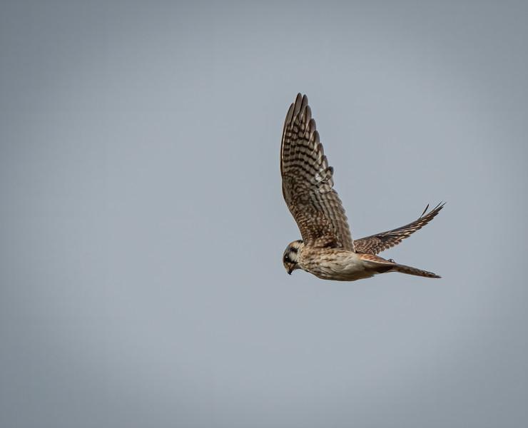 _6001743-Edit-American Kestrel female one wing up.jpg