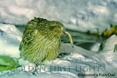 Blakiston's Fish-Owl, Ransu, Japan