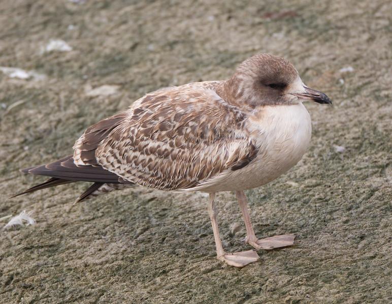 California Gull  San Luis Rey River Oceanside 2016 10 11-1.CR2
