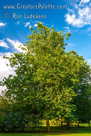 Platanus x acerifolia 'Columbia' (Columbia Sycamore)