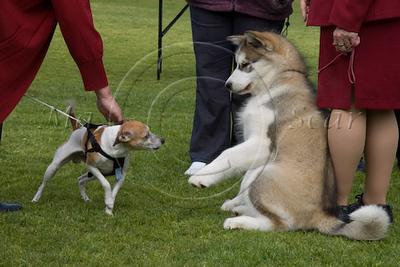 Tenterfield Terrier Club,SACA Sept 08