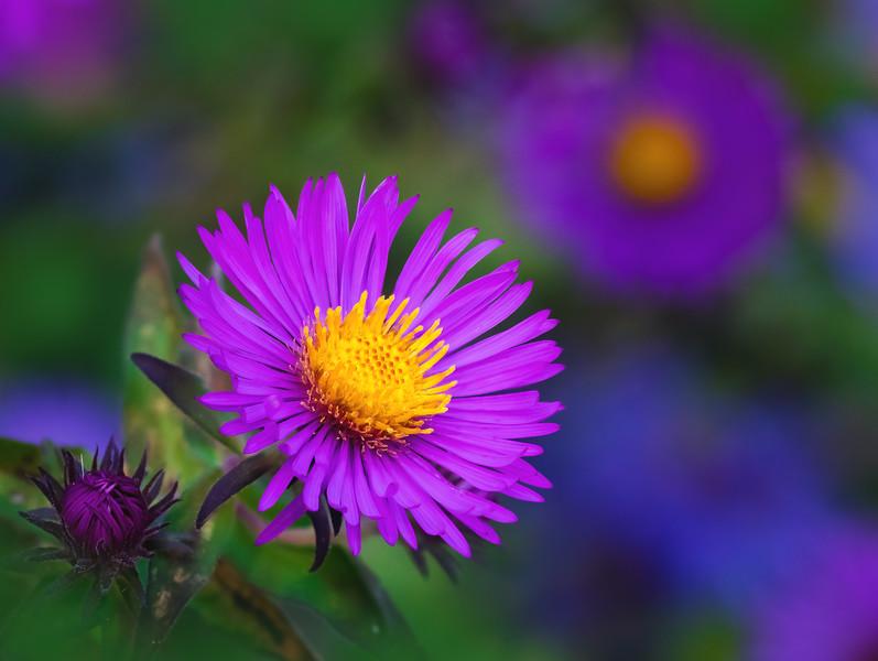 October Aster in Bloom