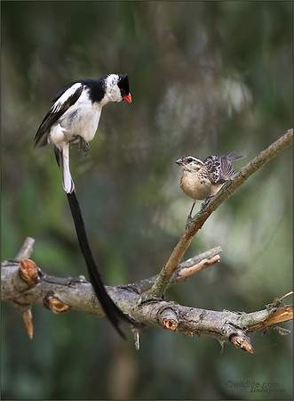 Pin-Tailed Whydah with mate, Fall 2012