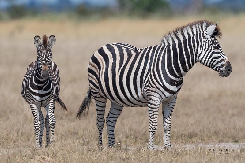 Burchell's Zebra, Savuti, Chobe NP, Botswana, May 2017-4.jpg
