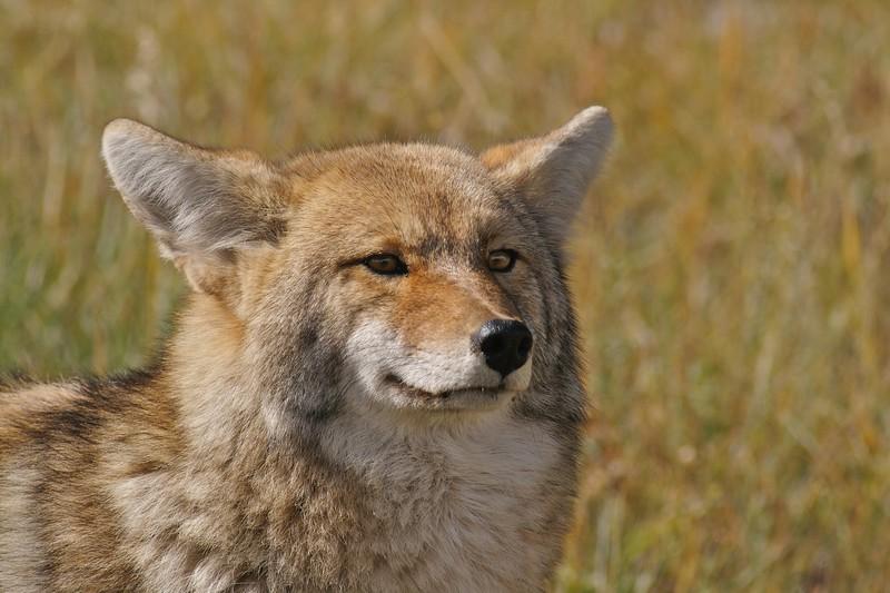 Coyote look Yellowstone _MG_3219.jpg
